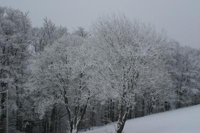 Schneebäume  im   Sauerland