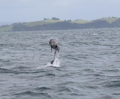 Delfin zeigt seine Kunststücke