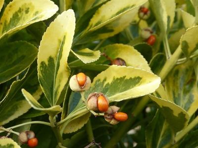 Früchte des Spindelstrauchs