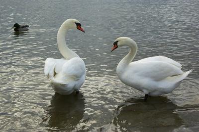 Zwei Schwäne am Strelasund