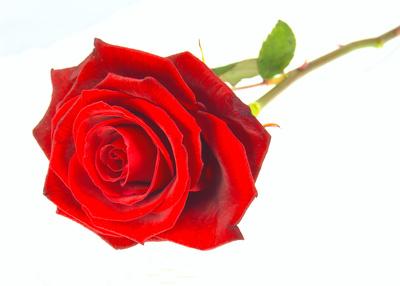 Rose to Valentin