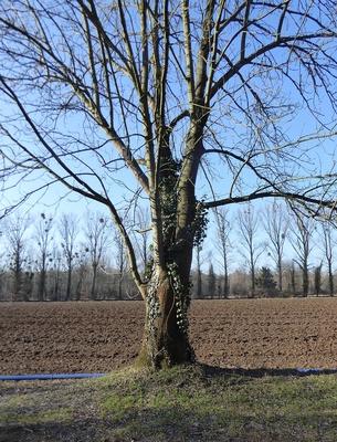 Efeuumrankter Baum
