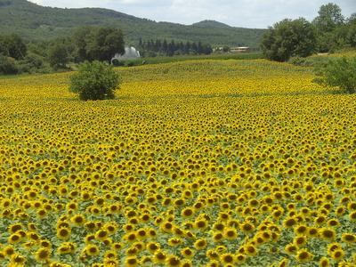 Ein Meer von Sonnenblumen