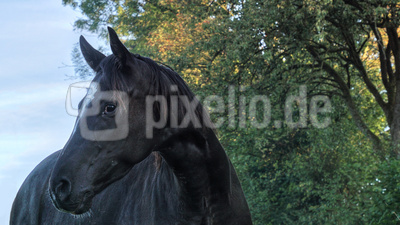 Pferdeportrait - Variante I