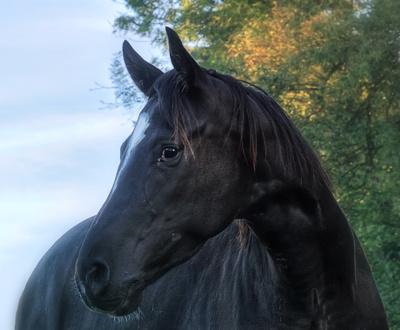 Pferdeportrait - Variante II