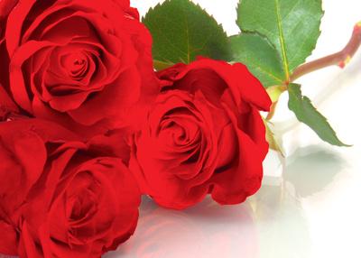 red roses speak