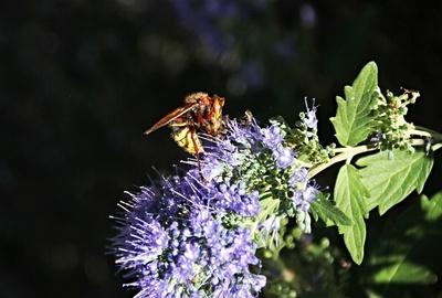 Hornisse mit Beute(Biene).