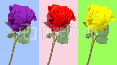 Rose - three pack