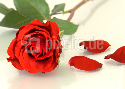 Rote Liebesrose
