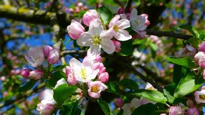 Apfelblütenstand einzeln