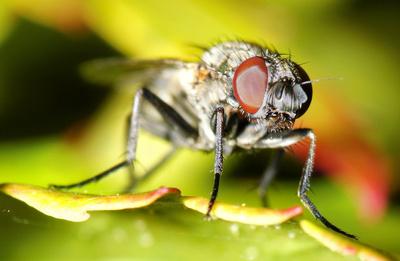 Fliegen-Macro I