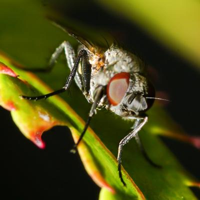 Fliegen-Macro III