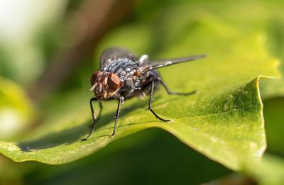 Fliegen-Macro VI