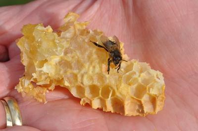 Honigbiene auf einem Stück Wabe
