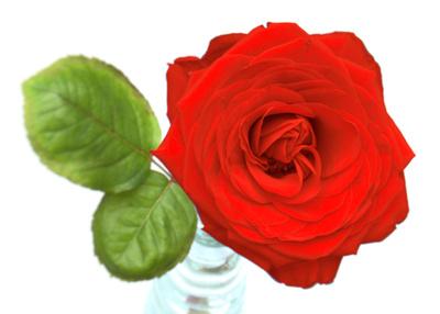 Rote Rose für dich