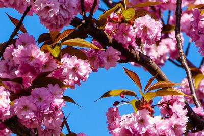 Japanische Kirschblüte vor Frühlingshimmel