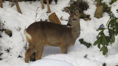 Rehwild im Winterkleid