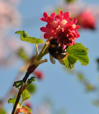 Hummel auf blassroter Blütendolde