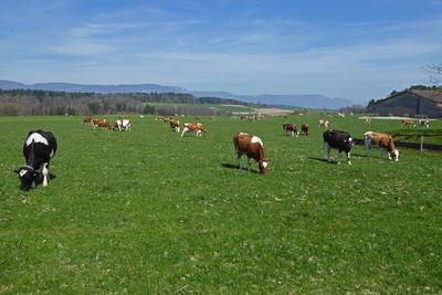 Kühe geniessen die Frühlingsweide