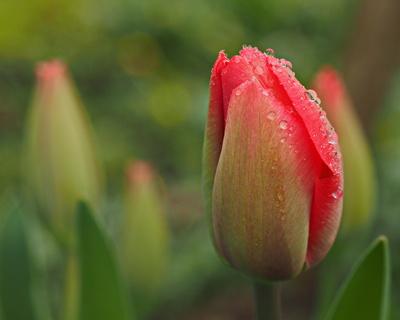 tulpe im morgentau 2