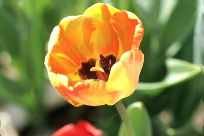 Tulpenblüte im Frühling