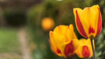 Tulpenblüten aus dem Garten