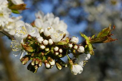 aufbrechende Blüten