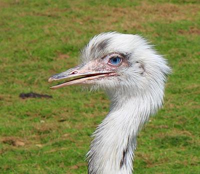 Ein Emu auf dem Lande