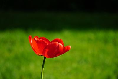 rote Tulpe im Sonnenlicht