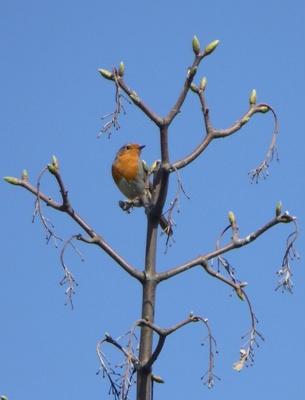 Rotkehlchen im Knospenbaum