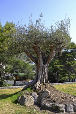 Olivenbaum - gesehen auf Ischia