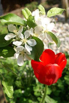 Tulpe im Blütenzauber