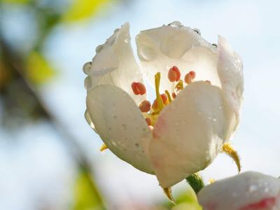 birnenblüte nach dem morgennebel