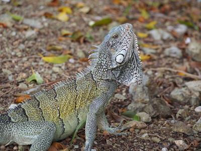 Leguan auf Curacao