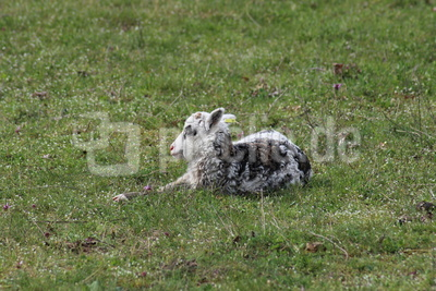 Osterlamm der Rasse Gute-Schaf