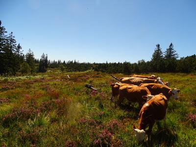 Hinterwälder Rinder auf Grinde
