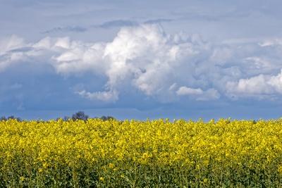 Regenwolken über dem Rapsfeld