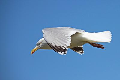 Möwe im Flug
