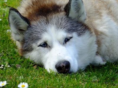 Husky pur