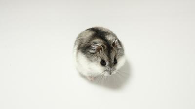 Dsungaren Hamster Lotte