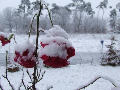 Rose und Schnee