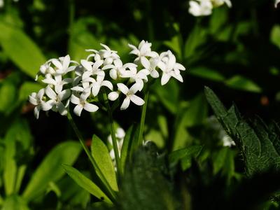 waldmeisterblüte