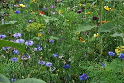 Wildblumenwiese I