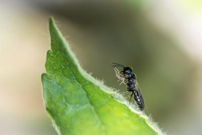 Grabwespe ersticht Blattlaus mit dem Maul