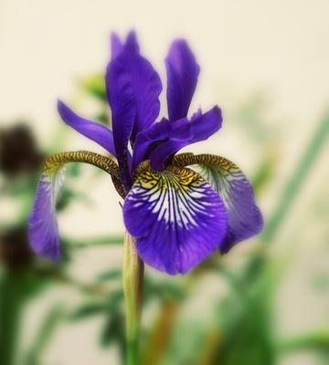 Blaue sibirische Sumpfschwertlilie