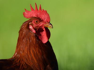 Stolzer Hahn mit rotem Kamm
