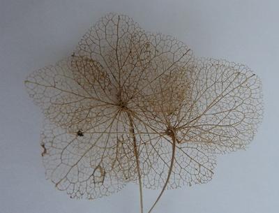 Skelettierte Blätter