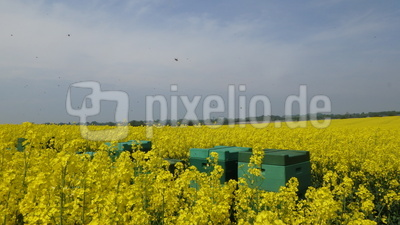 Bienenstöcke im Rapsfeld