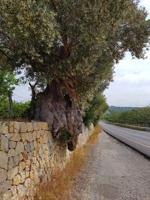 Uralte Olive