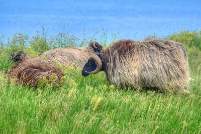 Heidschnukken auf Helgoland